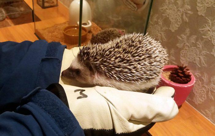 hedgehog cafe 02